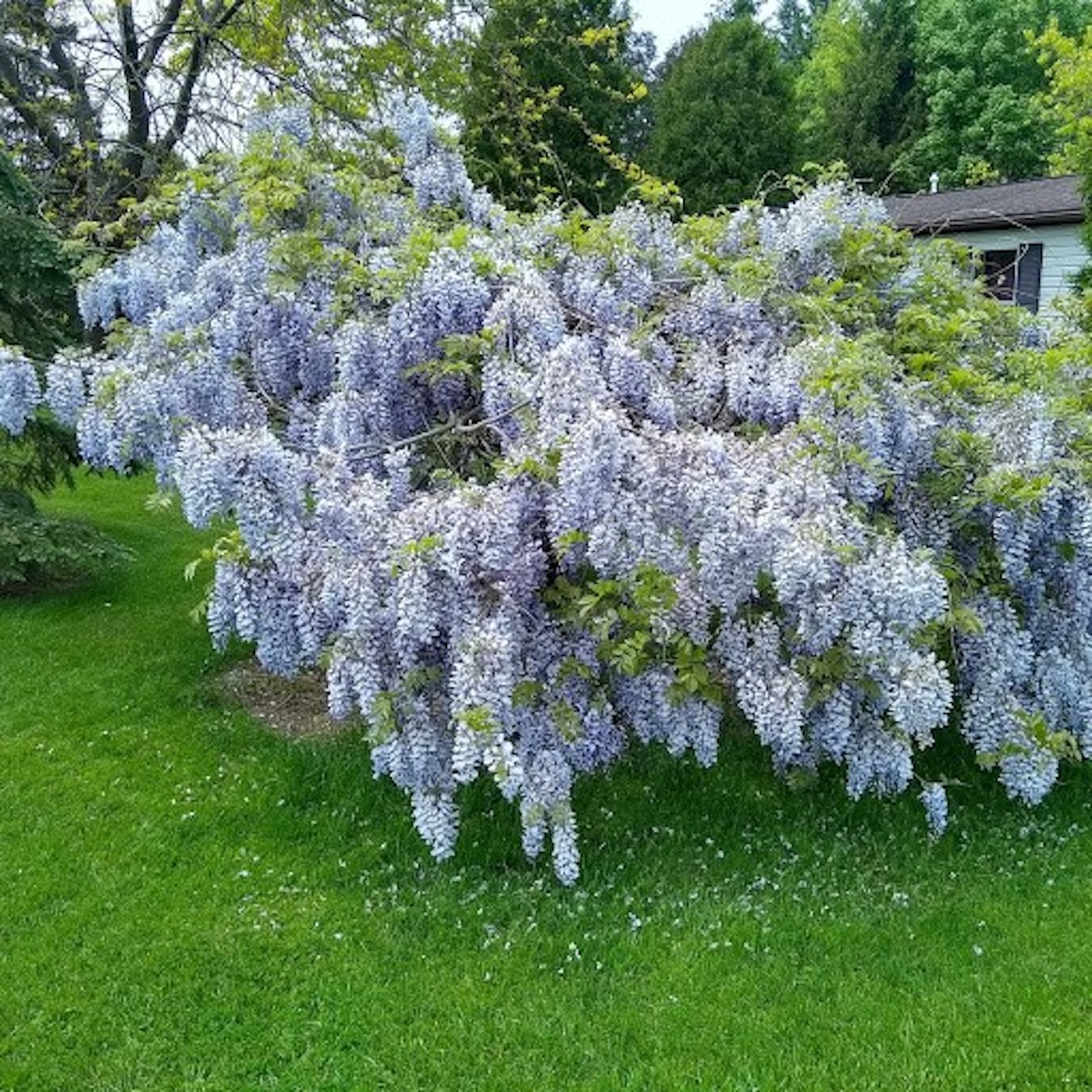 Wisteria Tree in Sodus (photo)